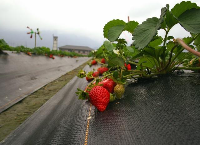 草莓觀光果園